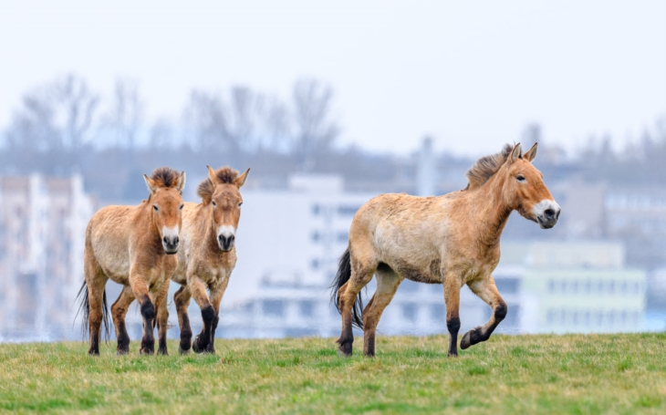 Na Dívčích hradech se prohánějí divoké koně